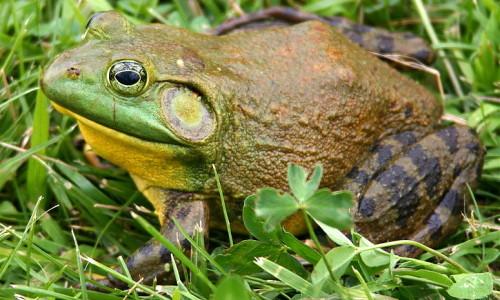 north-american-bullfrog
