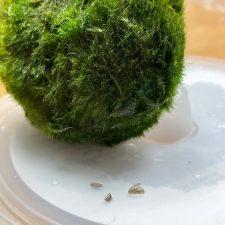 Zebra mussels found in moss balls